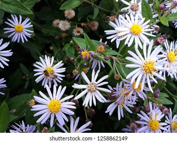 White flowers of Symphyotrichum Species, Hairy Aster, Frost Aster, Hairy White Oldfield Aster or Wild Aster. (Symphyotrichum Pilosum)