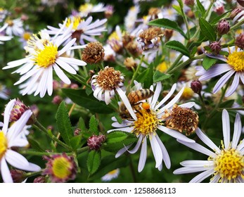 White flowers of Symphyotrichum Species, Hairy Aster, Frost Aster, Hairy White Oldfield Aster or Wild Aster with honey bee pollinating the yellow center.(Symphyotrichum Pilosum)
