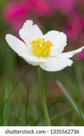 White Flowers - Tender Bright Macro of Anemones (Autumn Anemone, Honorine Jobert)