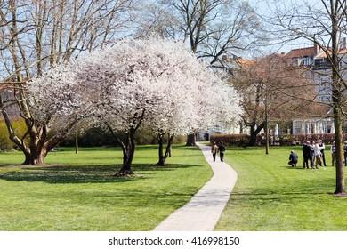White flowers tree blooming at spring in green park, Copenhagen, Denmark. Spring blossom in Copenhagen. Tree blooming with white flowers in Copenhagen park. Spring park scene. Beautiful park at spring