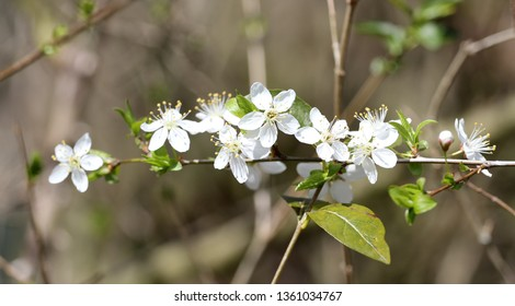 white flowers of a tree, cherry