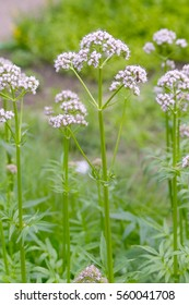 White flowers of Valerian (Valeriana officinalis)