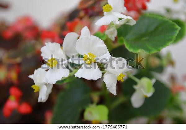 white-flowers-wax-begonia-close-600w-177