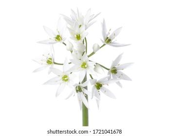White flowers of the wild garlic (Allium ursinum). Isolated on white background