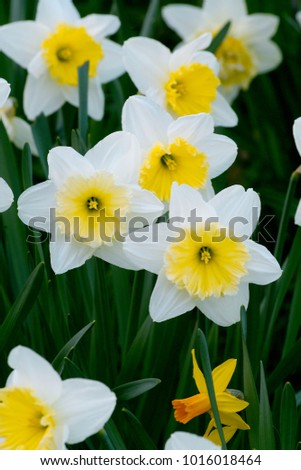 White flowers yellow center daffodils daffadowndilly stock photo white flowers with yellow center of the daffodils daffadowndilly narcissus field mightylinksfo