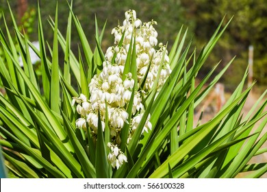 Yucca plant images stock photos vectors shutterstock white flowers of yucca plant mightylinksfo