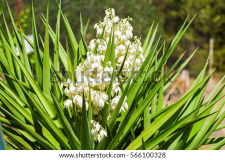 White flowers yucca plant stock photo edit now 566100328 white flowers of yucca plant mightylinksfo