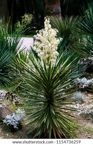 White flowers yucca plant yucca constricta stock photo edit now white flowers of yucca plant yucca constricta in bloom mightylinksfo
