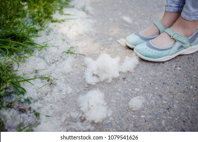 White fluff on the roadside, in the grass, near the foot. Concept allergy to poplar.