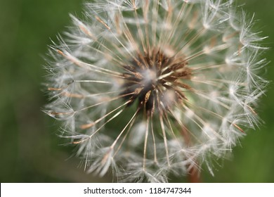 White fluffy ball of dandelion medicinal (common dandelion, Taráxacum officinále). Close-up. Macro. Soft focus effect.