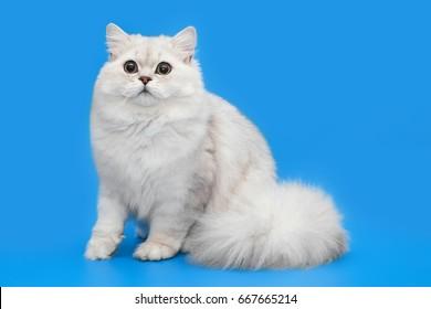 White fluffy beautiful cat on studio background