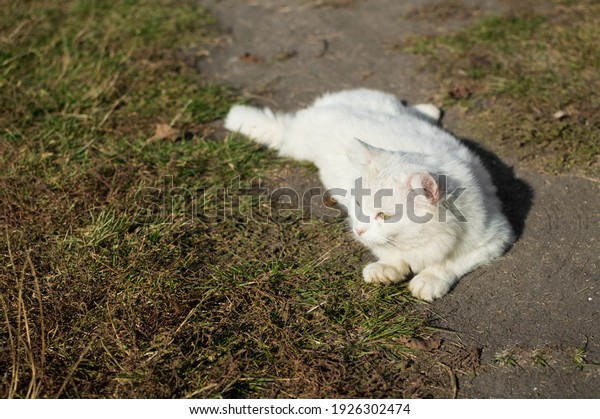 white-fluffy-cat-basks-on-600w-192630247