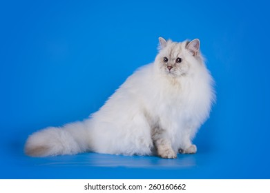 white fluffy cat on a blue background isolated