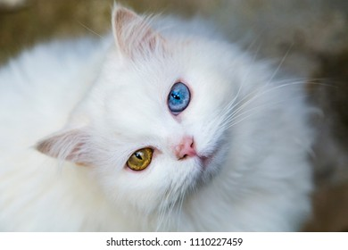 white fluffy cat with two eye colors