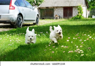 White fluffy cheerful happy pretty puppies of Maltese lapdogs are play running  on a green lawn. Puppies frolic running in pursuit .