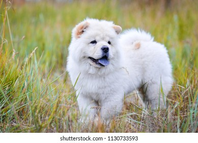white fluffy chow chow girl walking in the grass