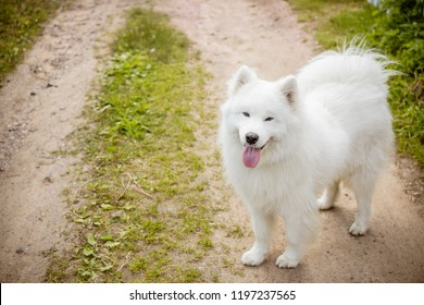 white fluffy cute samoyed tongue dog in the park path ,dog grooming.Samoyed Dog Walks on the grass. Care about pet concept.Copy space.Samoyed dog walking over the meadow
