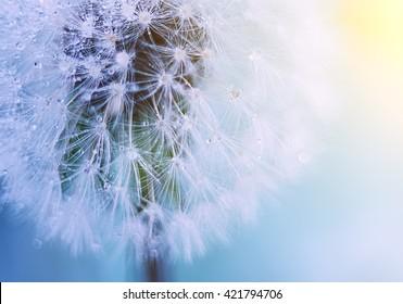 White fluffy dandelion closeup on a gentle background. white fluff gentle refined and gentle sunlight illuminates the ball of dandelion