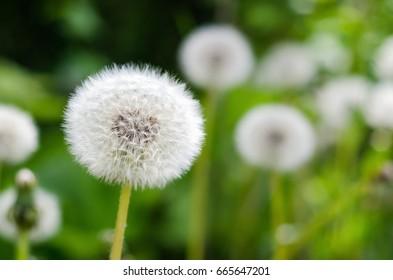 White fluffy dandelion growing on grass