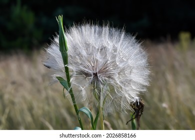 White, fluffy dandelion on a green meadow.