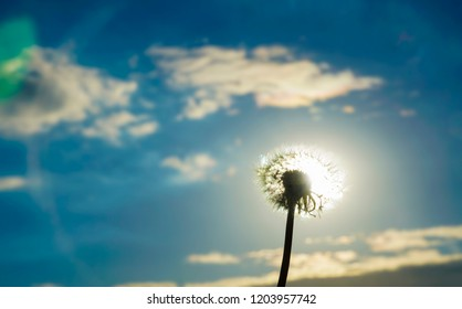 white fluffy dandelion on sunset, sun and blue sky  background