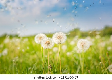White fluffy dandelions, natural green blurred spring background, selective focus. Inspire, beauty in nature concept. Bright nature background, summer spring field, flowers and meadow under blue sky