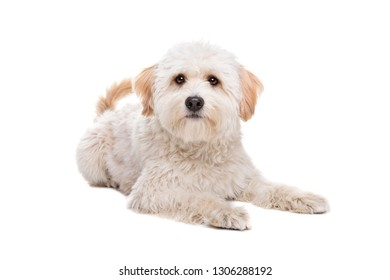 white fluffy dog laying in front of a white background