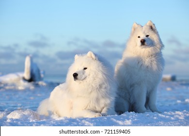 White fluffy dog,Samoyed sits on the snow of ice
