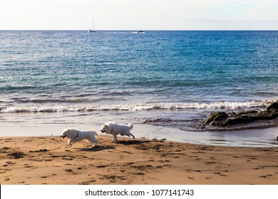 white fluffy dogy chasing each other on a wild beach in southern Tenerife