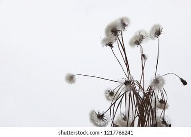 White fluffy flower Tragopogon dubius, yellow salsify.