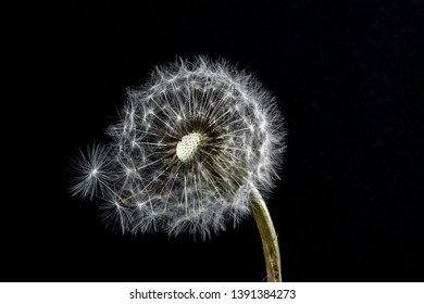 White fluffy flower Tragopogon dubius, yellow salsify, wild oysterplant, goat`s beard, and seeds on white background