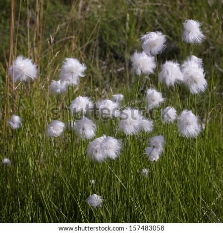 White fluffy flowers northern norway lofoten stock photo edit now white fluffy flowers northern norway lofoten mightylinksfo