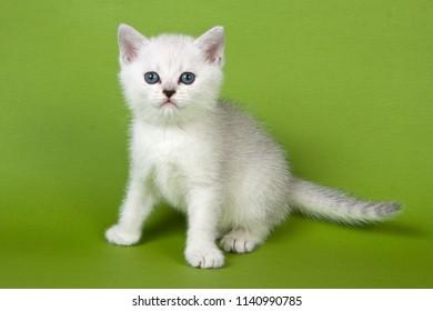 White fluffy kitten british on a green background