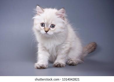 White fluffy kitten Scottish Fold on a gray background