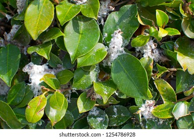 white fluffy patina on the mandarin tree. Diseases on citrus trees. Disease tree red aphid.