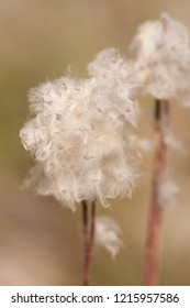 White fluffy plant gone to seed, fuzzy, soft.
