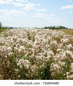 The white fluffy plants in the field