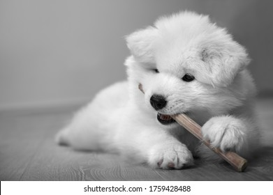 White fluffy puppy with black eyes nibbles a wand. Samoyed dog.