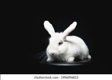 White fluffy rabbit with long ears on black isolated background.