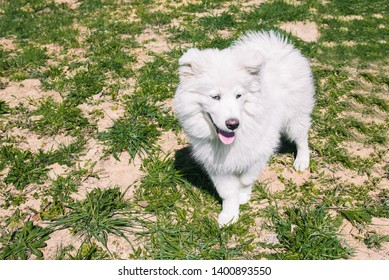 White fluffy Samoyed dog on the street against the background of green grass. Samoyed dog for a walk in the summer. White dog with tongue hanging out
