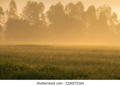white fog morning in golden grass field