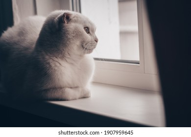 White fold cat alone looks out the window with a sad look while sitting on the windowsill