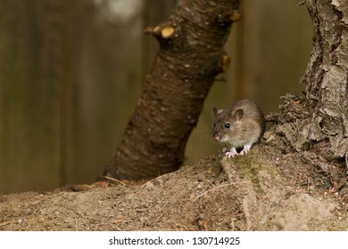 White footed mice (Peromyscus leucopus) in a backyard.