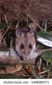 White Footed Mouse (Peromyscus Leucopus)