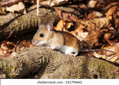 White footed mouse (woodmouse, Peromyscus leucopus) walking on branch, springtime