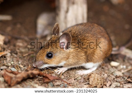White footed mouse (woodmouse, Peromyscus leucopus) in the nature, springtime