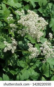 White fowers of Mapleleaf Tickfoil