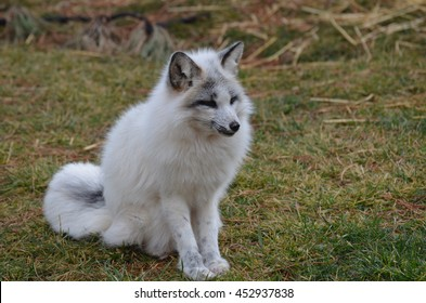 White fox sitting with his tail curled.