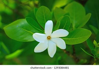 White fragrant tiare flower (Gardenia taitensis) growing on a plant in Bora Bora, French Polynesia