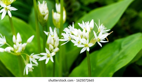 White fragrant very small flowers of wild garlic (Allium ursinum) or ramsons, buckrams broad-leaved garlic or bear's garlic on green. Natural concept of spring,  beginning of new life. Selective focus